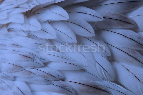 Azul mullido pluma primer plano atención selectiva luz Foto stock © michaklootwijk