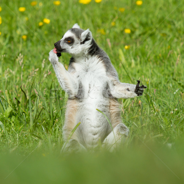 Sunbathing ring-tailed lemur in captivity  Stock photo © michaklootwijk