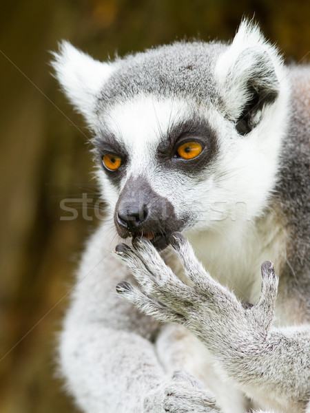 Ring-tailed lemur (Lemur catta) cleaning it's claw Stock photo © michaklootwijk