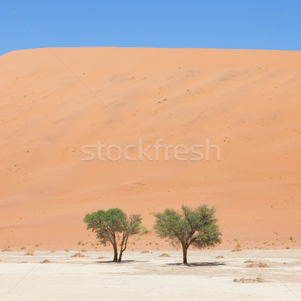 Two living trees in front of the red dunes of Namib desert Stock photo © michaklootwijk