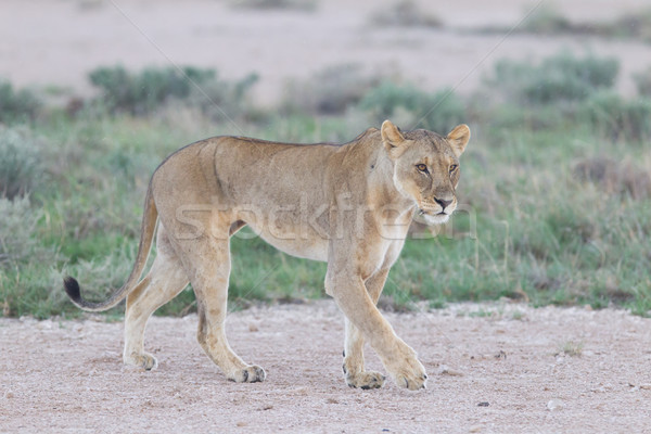 Lioness walking on the plains of Etosha Stock photo © michaklootwijk