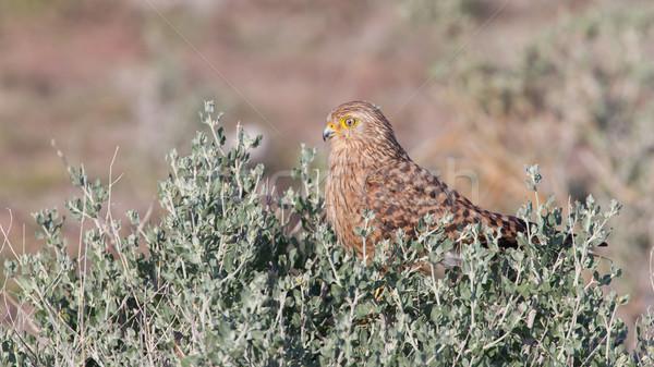 Greater kestrel (Falco rupicoloides)  Stock photo © michaklootwijk