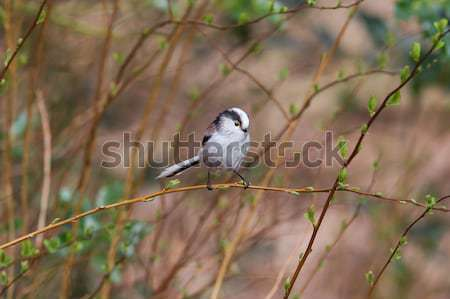 Long tailed tit (Aegithalos caudatus) Stock photo © michaklootwijk