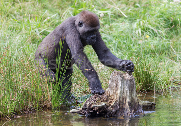 Young gorilla discovering Stock photo © michaklootwijk