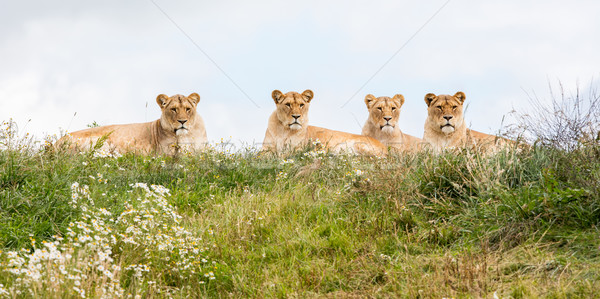 Stock photo: Four female lions