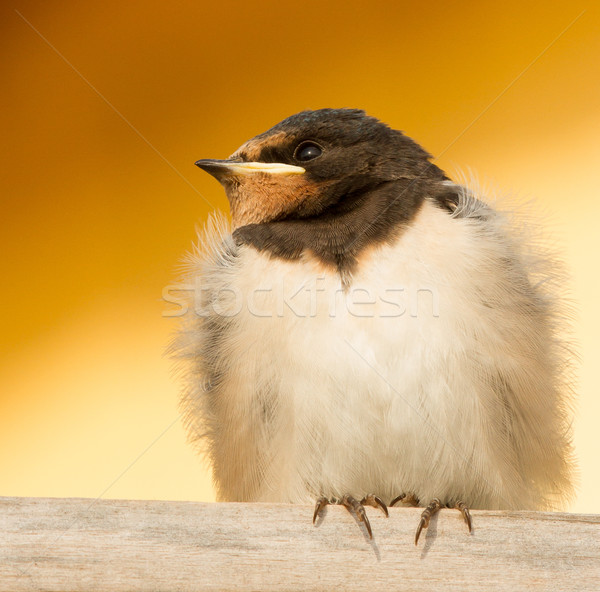 Fiatal mező madár toll fej kép Stock fotó © michaklootwijk