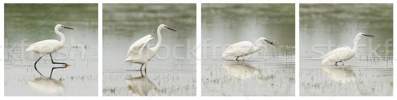небольшой белый цапля фото ходьбе озеро Сток-фото © michaklootwijk