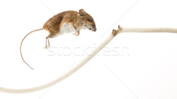 Mouse killed Stock photo © michaklootwijk