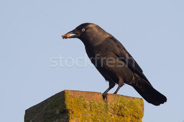 Daw (Corvus monedula) is eating a piece of bread Stock photo © michaklootwijk