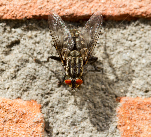 A fly on a brick wall Stock photo © michaklootwijk