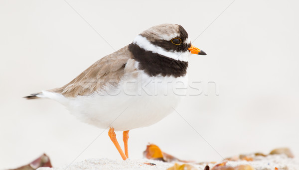 A ringed plover Stock photo © michaklootwijk