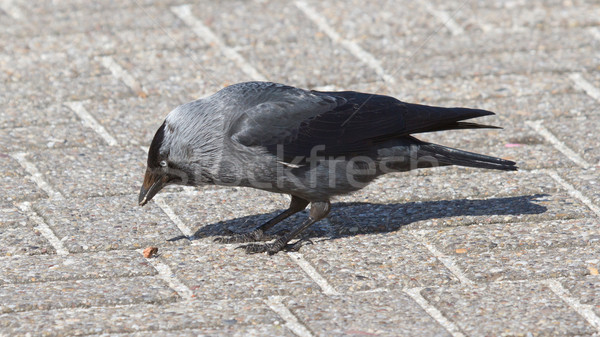 A daw is eating Stock photo © michaklootwijk