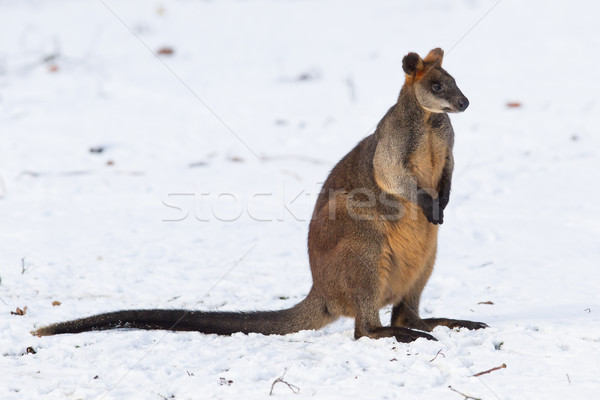 Swamp wallaby in the snow Stock photo © michaklootwijk
