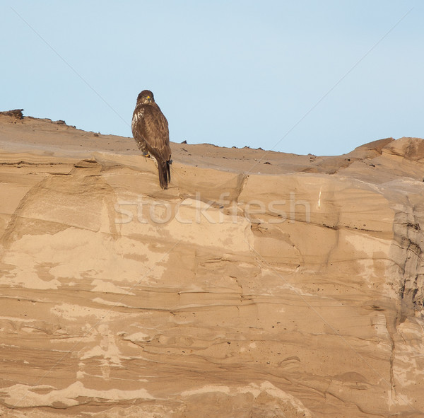 A buzzard on a sandy hill Stock photo © michaklootwijk