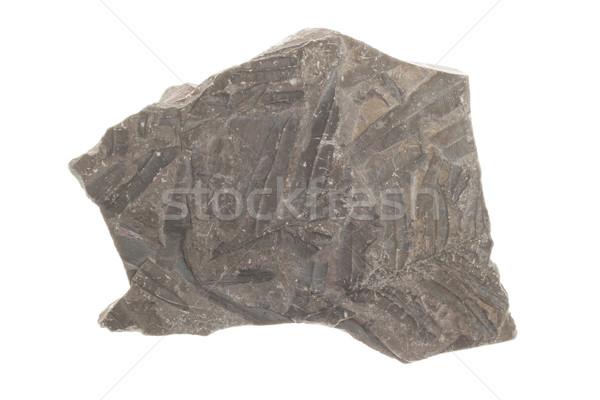 Varen fossiel geïsoleerd witte natuur blad Stockfoto © michaklootwijk