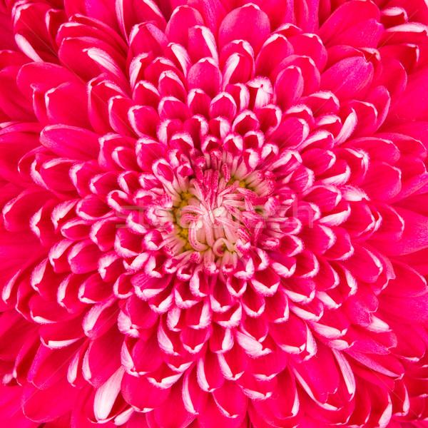 Fioletowy chryzantema shot centrum kwiat Zdjęcia stock © michaklootwijk