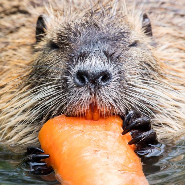 Coypu is eating Stock photo © michaklootwijk