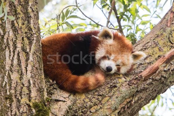 Czerwony panda drzewo zwierząt snem Zdjęcia stock © michaklootwijk