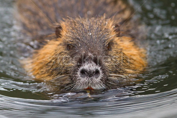 Myocastor coypus, single mammal Stock photo © michaklootwijk