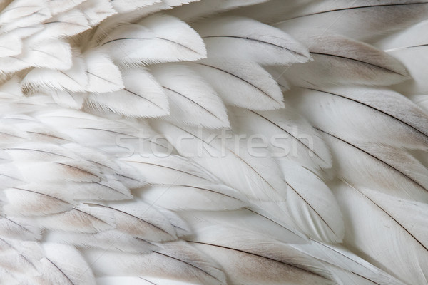 White fluffy feather closeup Stock photo © michaklootwijk