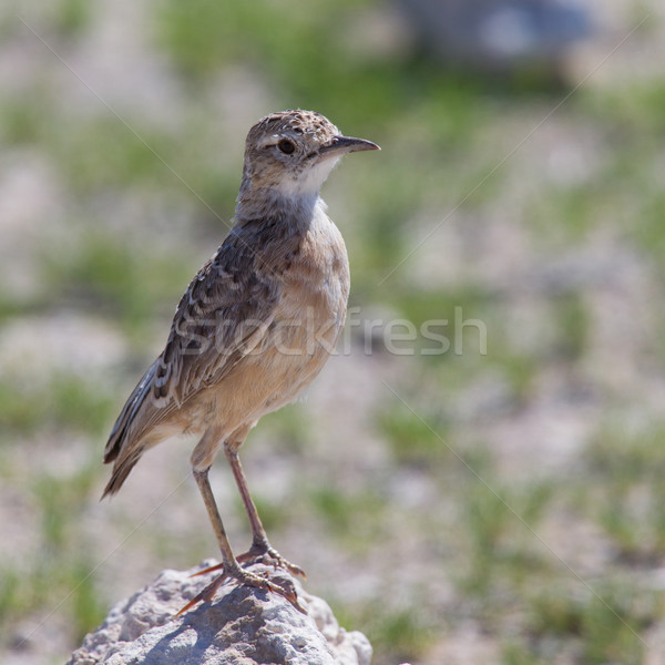 Stock photo: Trush sitting on a rock in Etosha National Park