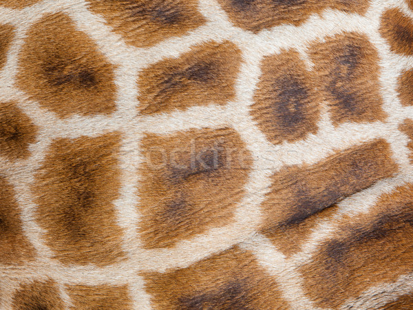 Genuine leather skin of giraffe Stock photo © michaklootwijk