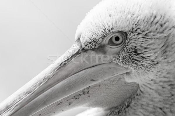 Pelican big bird head macro Stock photo © michaklootwijk