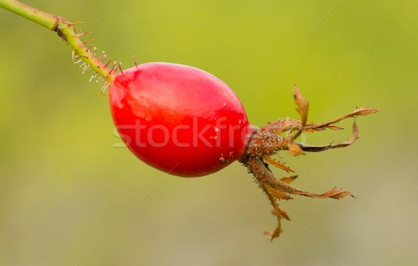 Seed of Hibiscus Stock photo © michaklootwijk
