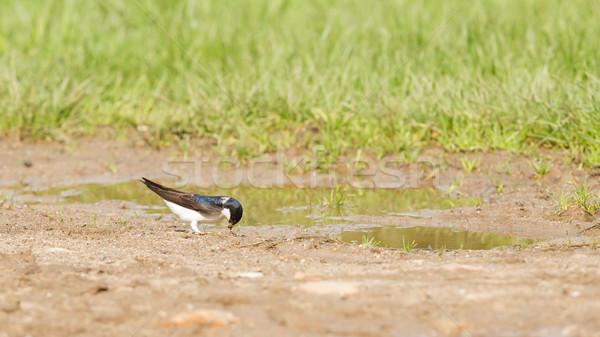 Swallow, Tachycineta bicolor, gathering nesting material Stock photo © michaklootwijk