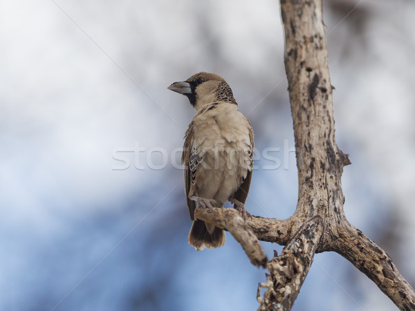 Pardal espécies Namíbia natureza pena África Foto stock © michaklootwijk