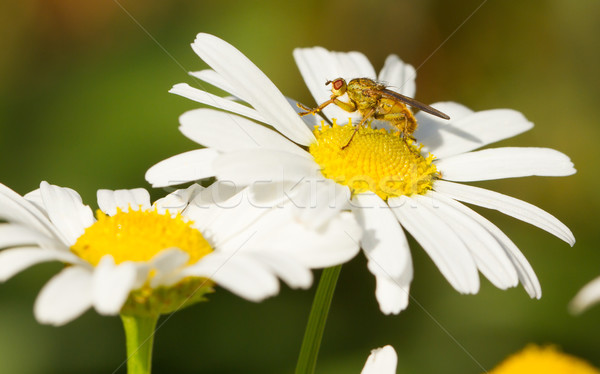 Small fly on an ox eye daisy Stock photo © michaklootwijk
