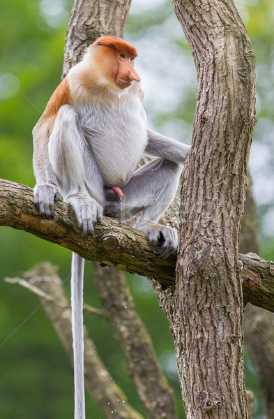 Proboscis monkey in a tree Stock photo © michaklootwijk