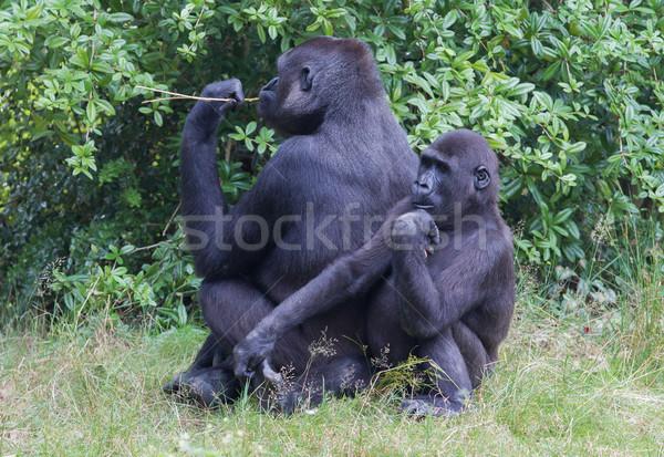 Adulto gorila hierba verde cara fondo Foto stock © michaklootwijk