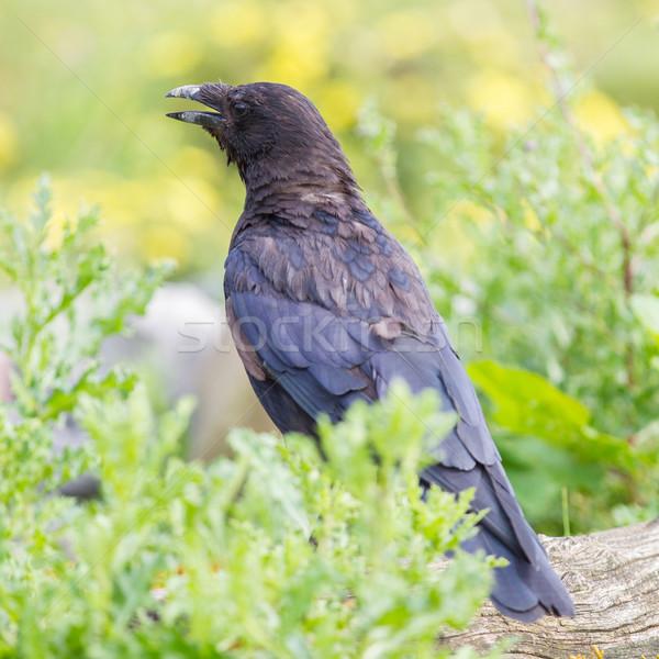 黒 カラス 空 ツリー 自然 背景 ストックフォト © michaklootwijk