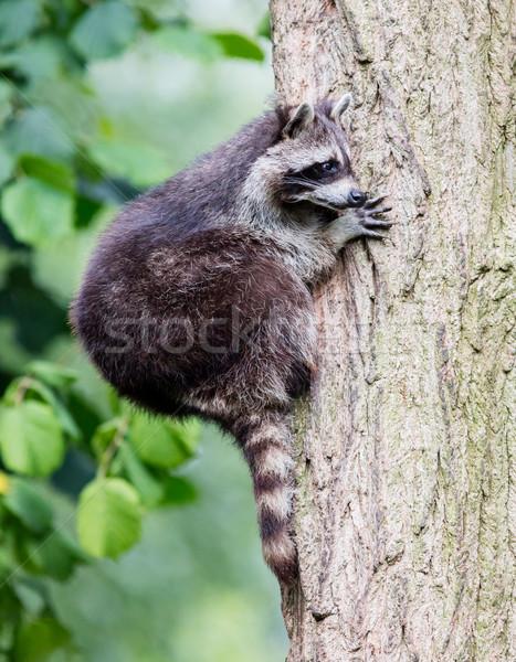 Racoon climbing a tree Stock photo © michaklootwijk