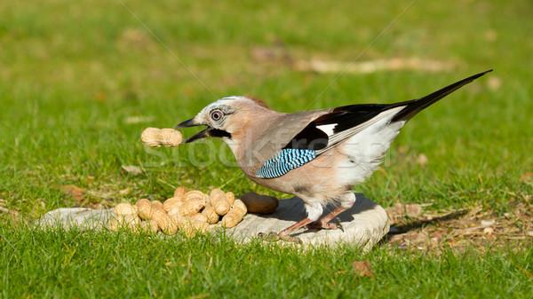Kuş yeme yer fıstığı gıda yüz ahşap Stok fotoğraf © michaklootwijk