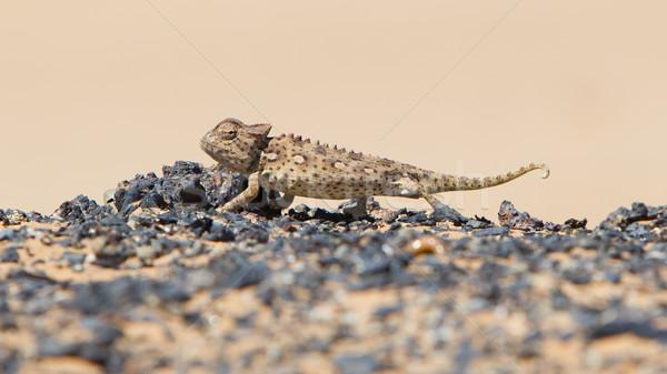 Foto stock: Camaleão · caça · deserto · Namíbia · olhos · areia
