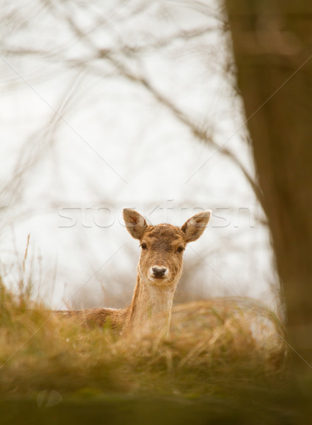A fallow-deer Stock photo © michaklootwijk