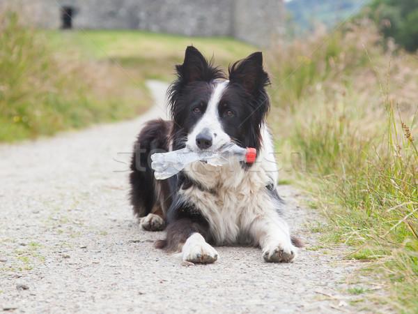 Бордер колли овчарка ждет пластиковых бутылку рот Сток-фото © michaklootwijk