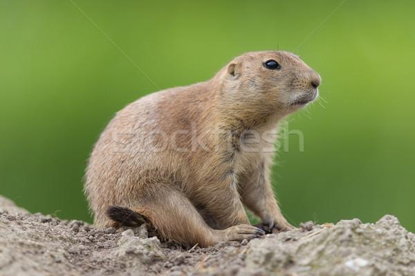 Pradaria cão naturalismo habitat grama natureza Foto stock © michaklootwijk