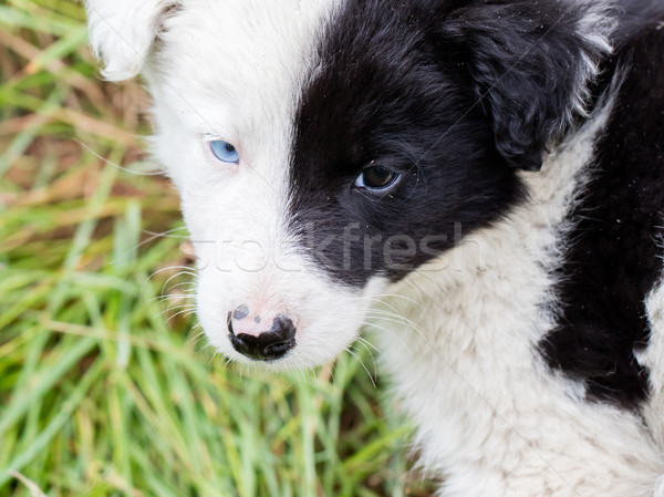 Border Collie puppy on a farm Stock photo © michaklootwijk