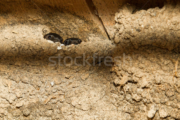 Barn swallow nest with nestlings Stock photo © michaklootwijk