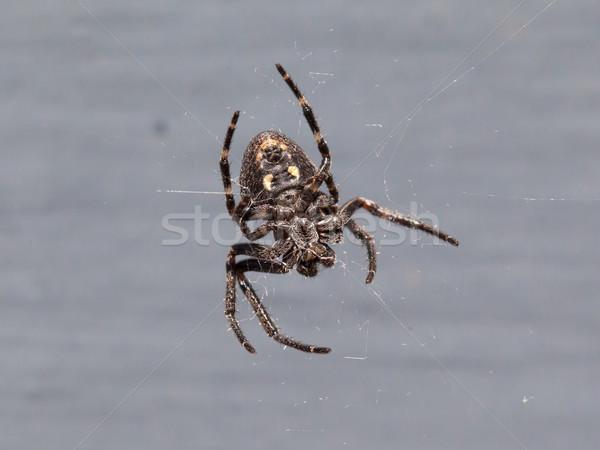 Small cross Spider (Araneus diadematus) Stock photo © michaklootwijk