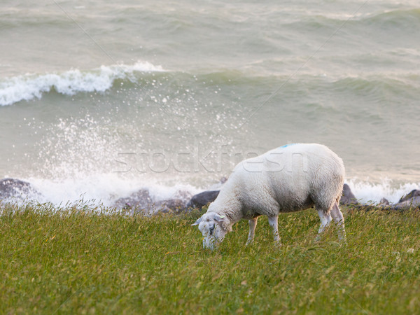 Sheep eating grass on a dike Stock photo © michaklootwijk