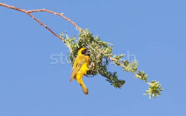 黄色 繁殖 シーズン ナミビア 自然 ストックフォト © michaklootwijk