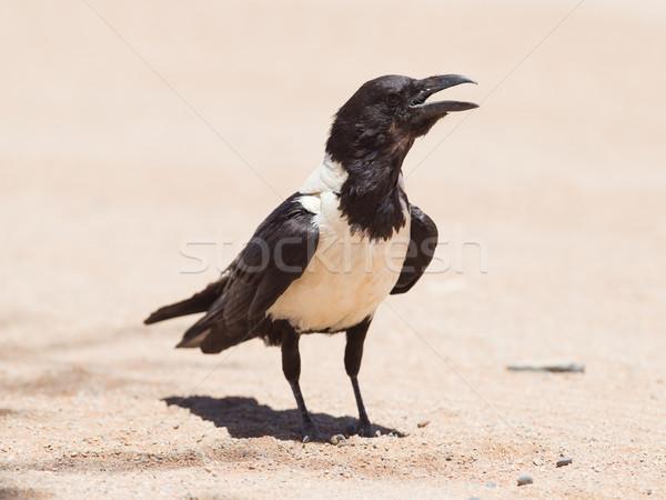 ворон природы рок птиц черного и белого белый Сток-фото © michaklootwijk