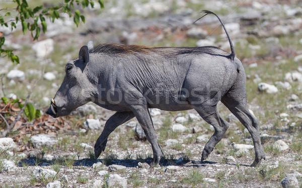 Warthog walking in Etosha National Park Stock photo © michaklootwijk