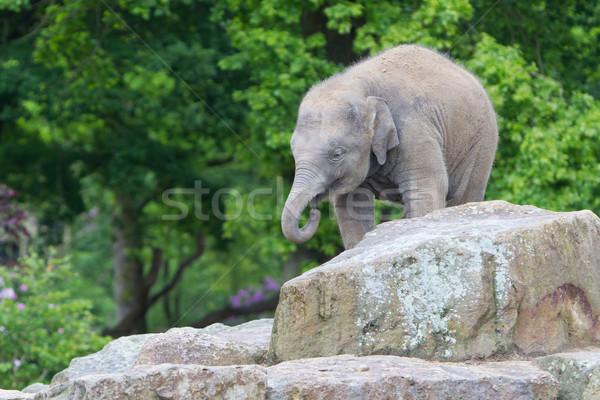 Happy baby elephant Stock photo © michaklootwijk