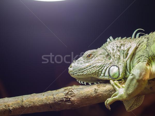 Close-up of a green iguana resting Stock photo © michaklootwijk