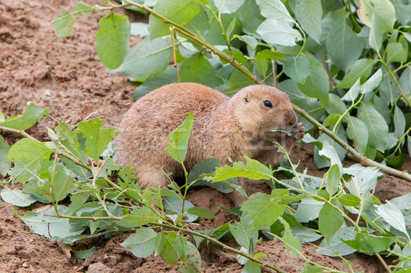 Black-tailed prairie dog holding a twig with leaves Stock photo © michaklootwijk